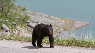 Black Bear walking on the Maligne Lake Road