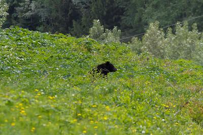 Black Bear, Mount Robson Provincial Park