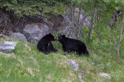 Black Bear, Maligne Valley, Jasper National Park