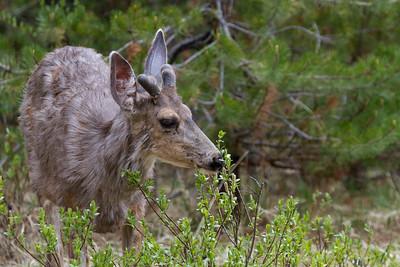 Deer near Maligne Lake