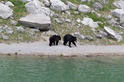 Black Bears walking along Medicine Lake