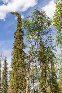 Wald bei Tankavaara