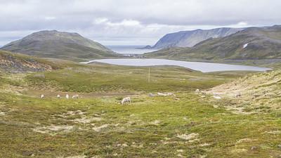 Rentiere auf Magerøya