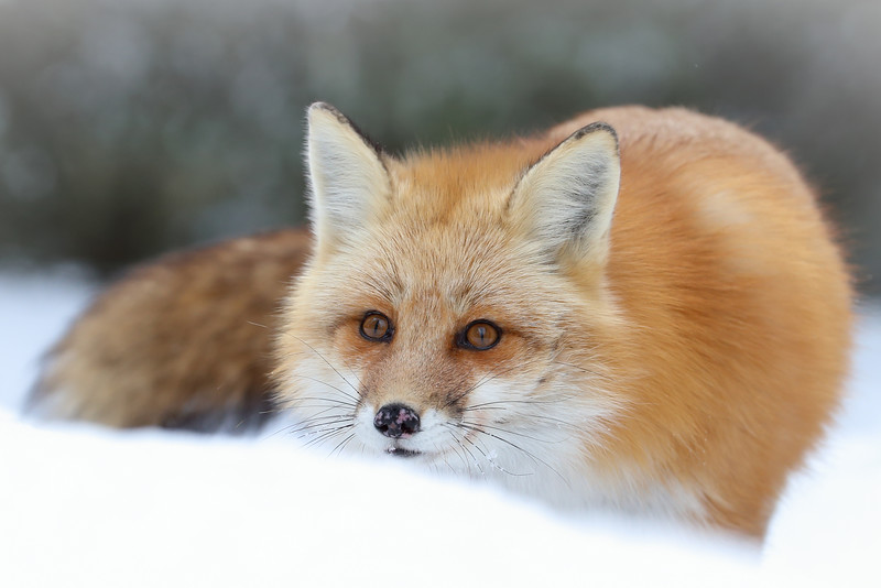Rødrev  /  Red Fox