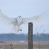 SNØUGLE  /  Snowy Owl