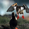 <center><b>Atlantic Puffin</b>