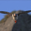 <center><b>Atlantic Puffin</b></center>