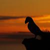 <center><b>Atlantic Puffin</b> - sunset</center>