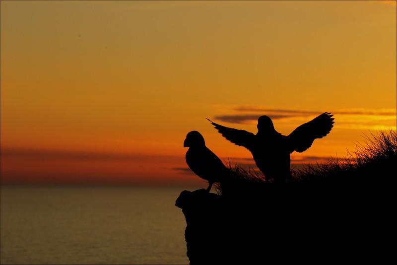 <center><b>Atlantic Puffin</b> - <i>Lundefugl i silluet mot solnedgangen..</i>