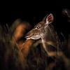 Større Kudu  / Greater kudu