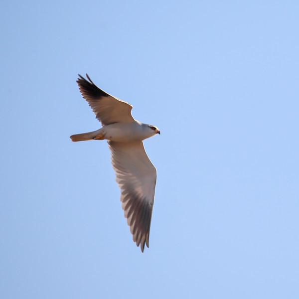 Svartvingeglente  / Black-shouldered kite