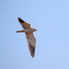 Svartvingeglente  / Black-shouldered kite