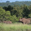 Svart Nesehorn  /  Black Rhino