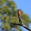 Sinoberbieter  / Southern carmine bee-eater (Merops nubicoides)