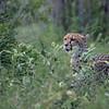 Geopard  / Cheetah