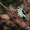 <center><b> Woodland Kingfisher</b></center>