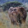 <center><b>African elephant</b></center>
