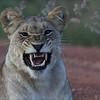 <center>Female  <b>Lion</b> / Løve</center>
