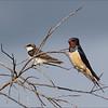 <center><b>Barn Swallow</b> <i>(Hirundo rustica)</i></center>