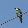 <center><b>European Bee-eater</b> <i>Merops apiaster</i></center>