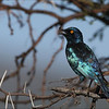 <center><b>Greater Blue-Eared Starling</b></center>