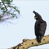 Toppørn - Long-Crested Eagle