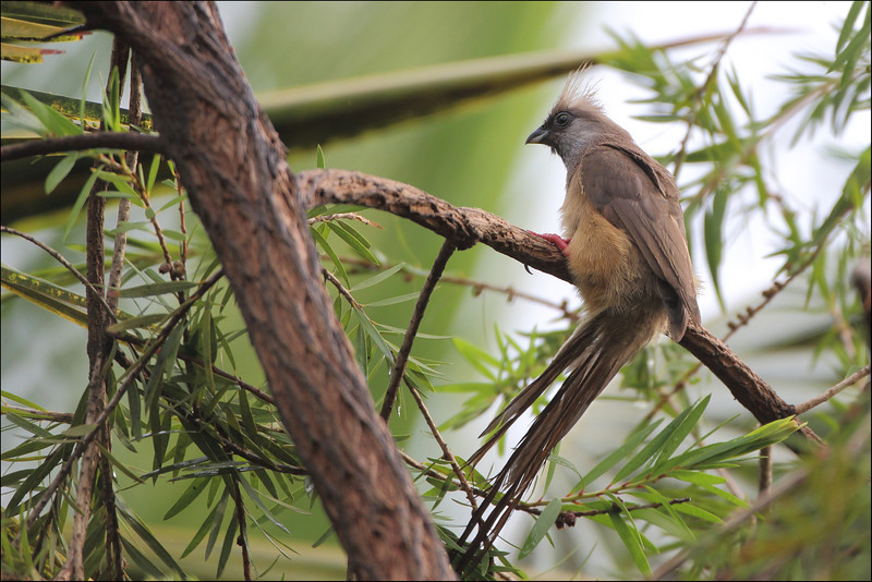 Speckled mousebird  /  Brunmusfugl
