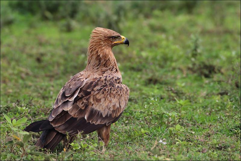 Savanneørn  /  Tawny Eagle