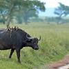 Bøffel  /  Cape Buffalo