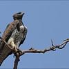 Svartbrystslangeørn  -  Black-chested Snake Eagle