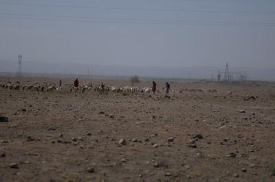 Red Maasai Sheep with Masai Shepherds