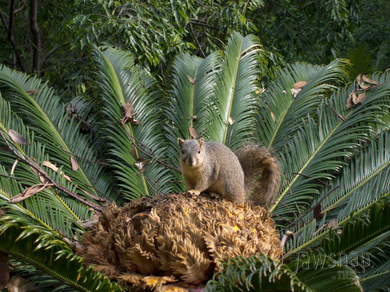Jungle Squirrel