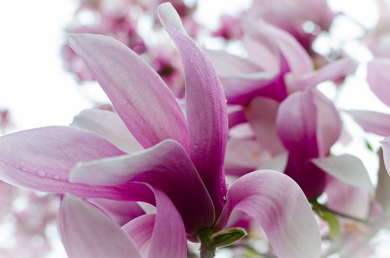 Magnolia Blossoms 2