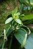 vanilleplanten er en orkide...