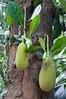 Jacque-frugten kan veje op til 50 kg. - bruges som grøntsag