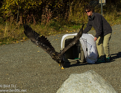 Susan doing a release of the sub-adult bald eagle