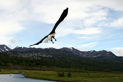 Bird TLC's favorite view of an eagle. Gaining altitude after a successful release. Nothing but tail feathers!
