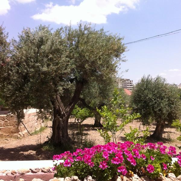 Оливковые деревья, которым более 2000 лет