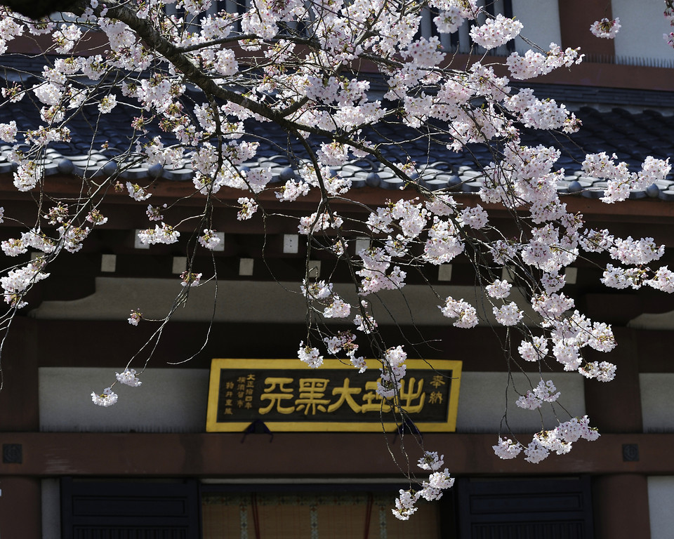 The cherry tree located in front of the hall dedicated to Daikokuten.