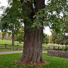The Alvin Smith tree.  This tree was planted after the death of Joseph's brother Alvin.  Later Joseph received a revelation of the Celestial and was astonished to see his brother Alvin in the scene.  Because Alvin died prior to the restoration of the Church, Joseph inquired of the Lord and received the revelation regarding the three degrees of glory that will be the kingdoms of heaven after this life.