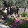 Jesus prays and gets arrested in the Garden of Gethsemane. Video is from the outdoor drama, Worthy Is The Lamb and pictures of the Garden of Gethsemane from just outside Jerusalem.