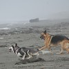 This GSD was roaming the beach with his owner and he and Relli chased each other around a bit
