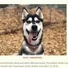 We saw this ad and just couldn't resist.   Look how cute she is!   Plus, Meredith has been wanting a Husky since we visited some pups in Tok Alaska, and some adult sled dogs in Denali NP Alaska last year.