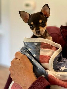 Moments after arriving home, Patriot in his American flag blanket