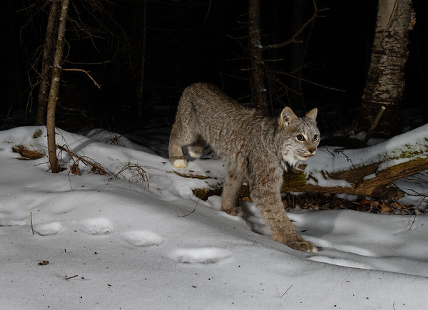 Figure 5: A Canada lynx kitten traveling on a well-worn snowshoe hare trail. Taken in the Superior National Forest.
