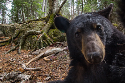 A black bear is attracted to the carcass of a road killed deer pulled off the road