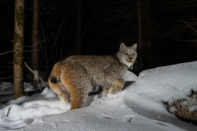A mother lynx peers over its shoulder in the dark. Three kittens are not far behind.
