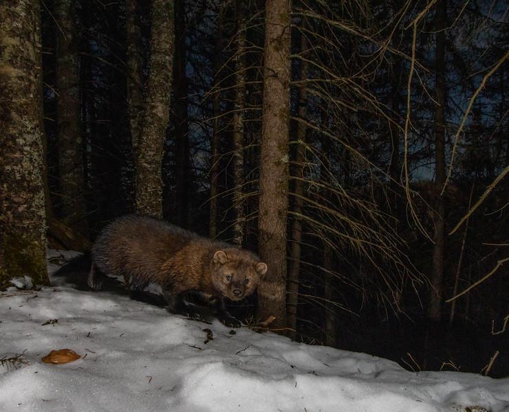 A male fisher walks along a ridgeline at night.