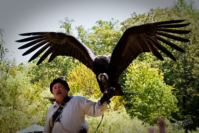 New York Renaissance Faire 2010 ......Birds of Prey. Demonstrations by master Falconer Steve Hody.