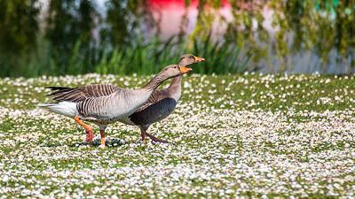 Un couple d'oies romantique - A romantic couple of geese